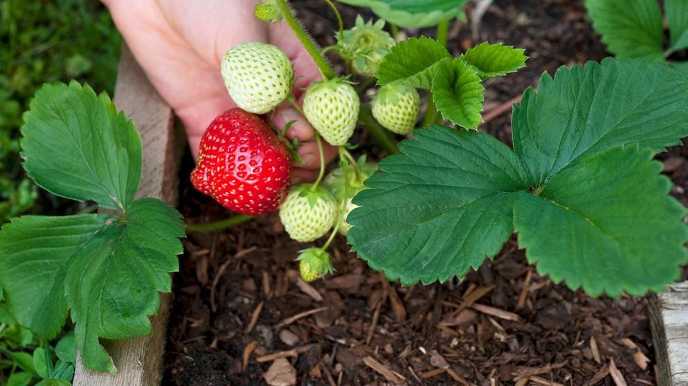 Prächtig Erdbeeren auf dem Balkon: So fühlen sich Ihre Erdbeeren im #WJ_26