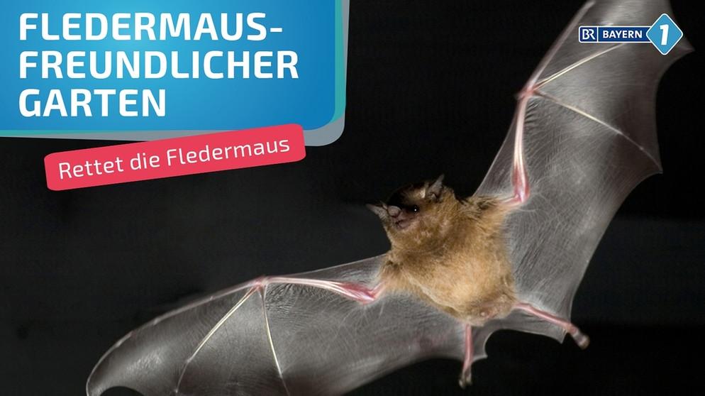 Wo Leben Fledermäuse Ein Garten Für Die Fledermaus Bayern 1