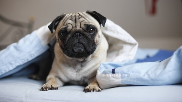 unhygienisch oder gem tlich hund im bett eklig oder nicht bayern 1 radio. Black Bedroom Furniture Sets. Home Design Ideas