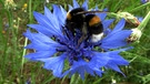Hummel in Kornblume | Bild: picture-alliance/dpa