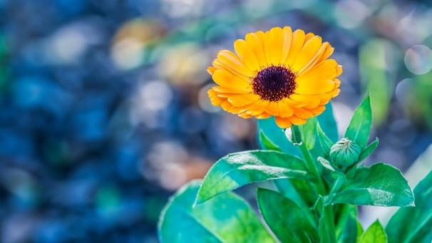 Pflanzen gegen Mücken: Diese Pflanzen befreien Ihr ...