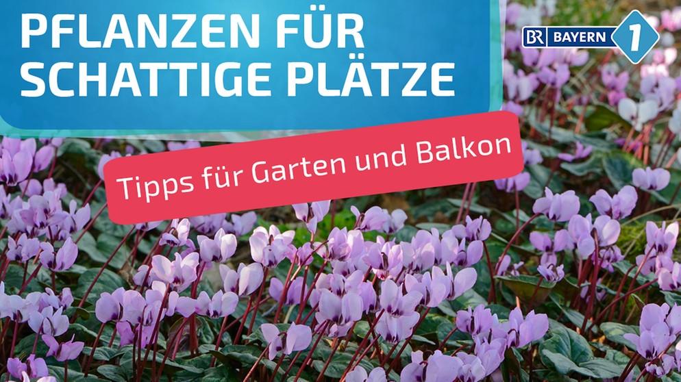 Schattenblumen Diese Pflanzen Mogen Schattige Platze Bayern 1