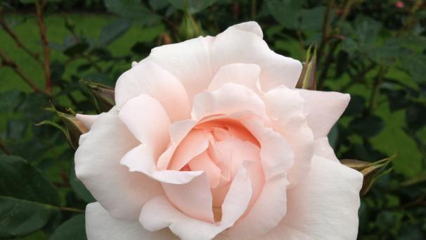 Die Schönsten Gärten Der Rosengarten Auf Der Insel Mainau Bayern