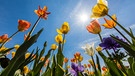 Tulpen in der Sonne | Bild: colourbox.com