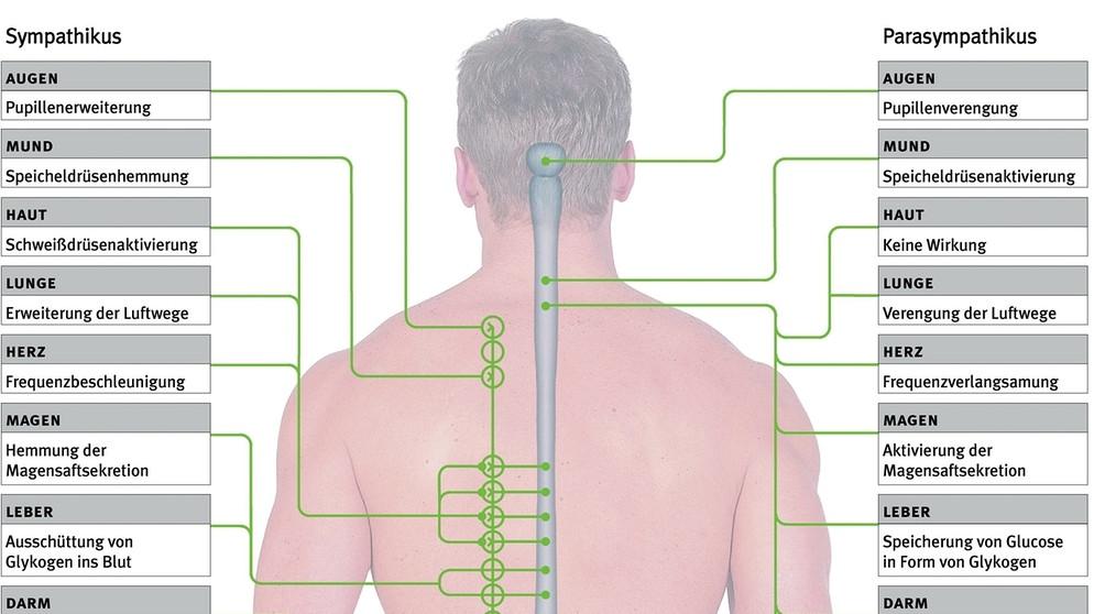 Gemütlich Menschliche Körperbild Blank Zeitgenössisch - Anatomie ...