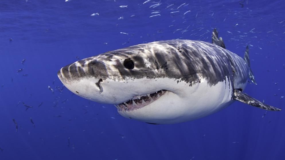 weißer hai wird er im mittelmeer wieder heimisch iq