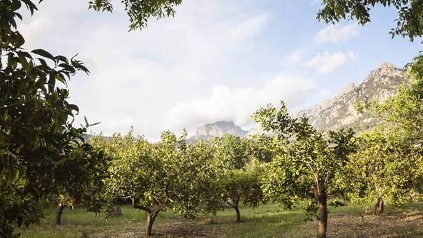 Orangenplantage auf Mallorca | Bild: ecovinyassa