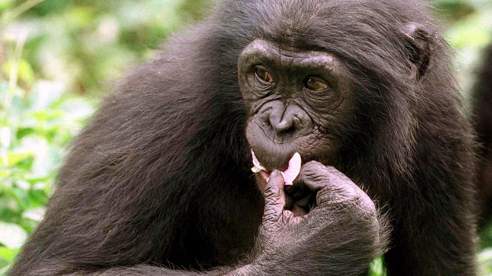 Bonobo (Zwergschimpanse) | Bild: picture-alliance/dpa