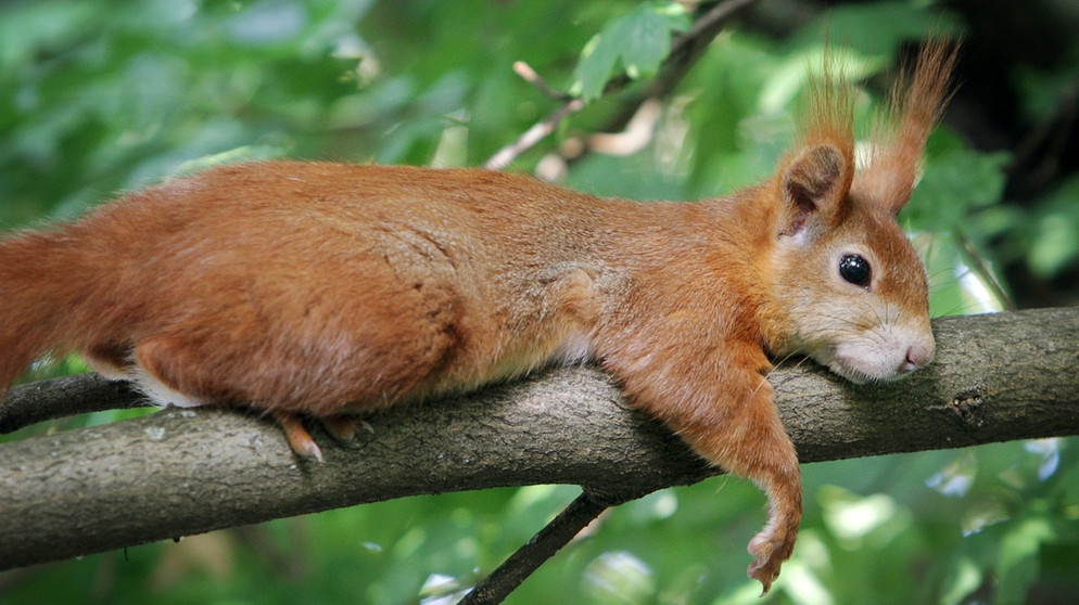 Das Eichhörnchen Arbeitsblatt : Das eichhörnchen kletternde kobolde radiowissen