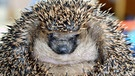 Igel | Bild: picture-alliance/dpa