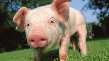 Geschichte Des Hausschweins Auf Das Schwein Gekommen Wissen