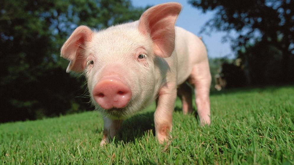 Das Schwein: Glückssymbol und ...