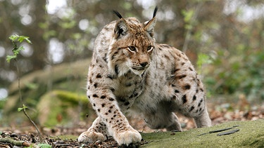Luchs | Bild: picture-alliance/dpa