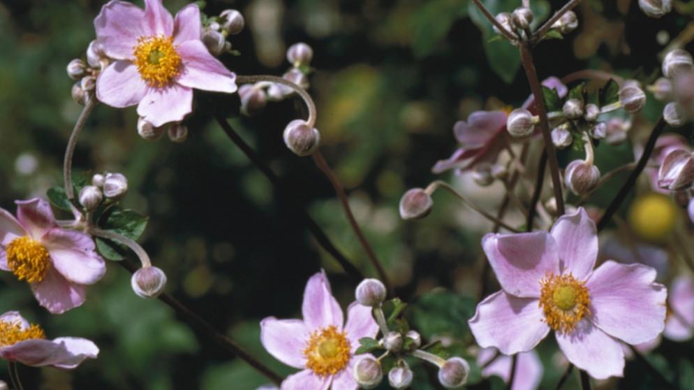 Schattenblumen: Diese Pflanzen mögen schattige Plätze ...