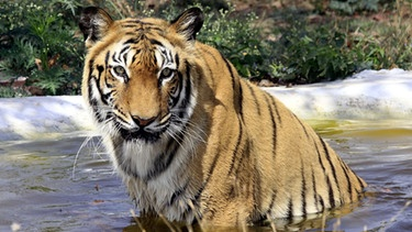 Ein Tiger in einem Teich des Nationalparks Van Vihar in Bhopal, Madhya Pradesh, Indien  | Bild: picture-alliance/dpa