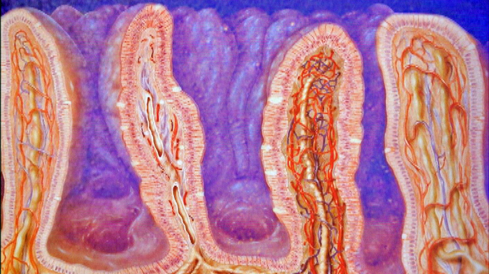 Der Weg der Nahrung: 3. Magen und Darm | Biologie | Telekolleg | BR.de