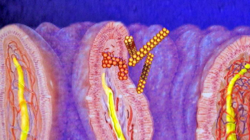 Der Weg der Nahrung: 3. Magen und Darm | Biologie