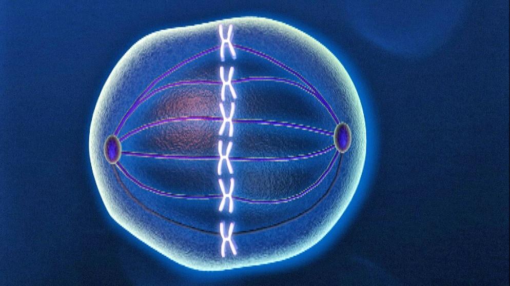 Grundlagen der Genetik: 3. Zellteilung | Biologie | Telekolleg | BR.de
