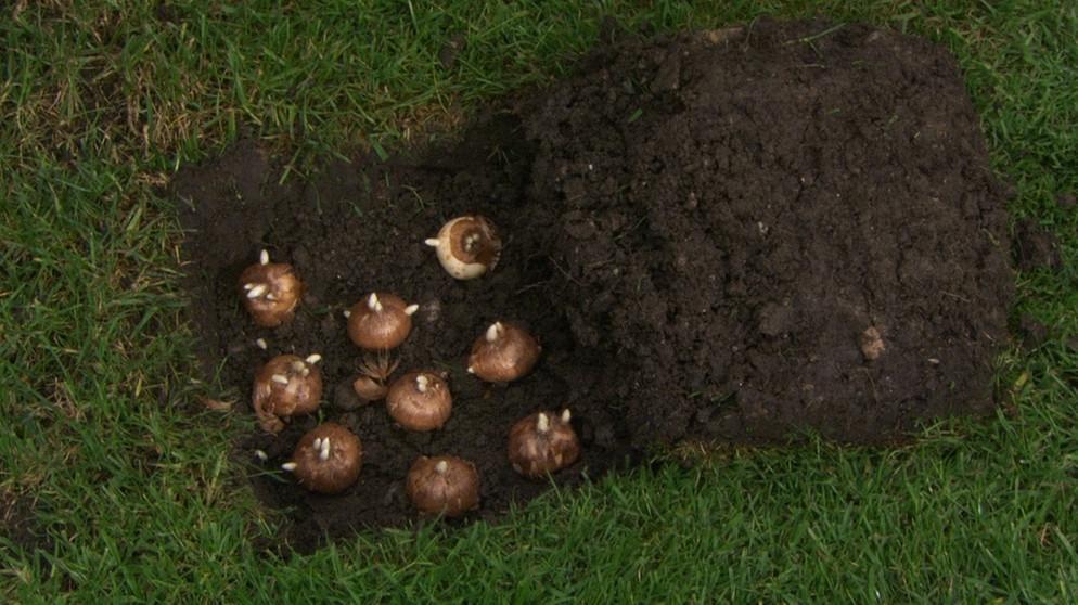 Etwas Neues genug Zwiebeln & Knollen: Zwiebelblumen setzen und pflegen | Themen | BR.de #TG_49