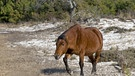 Assateague-Pony oder Chincoteague-Pony (Equus caballus), gehendes Altteir, Assateague Island National Seashore, Assateague Island, Maryland, USA, Nordamerika | Bild: picture-alliance/dpa/Mark Newman/FLPA