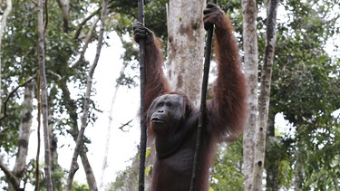 Orang-Utan in Tanjung Puting National Park in Kalimantan (Borneo) | Bild: picture-alliance/dpa