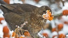 Amsel | Bild: picture-alliance/dpa